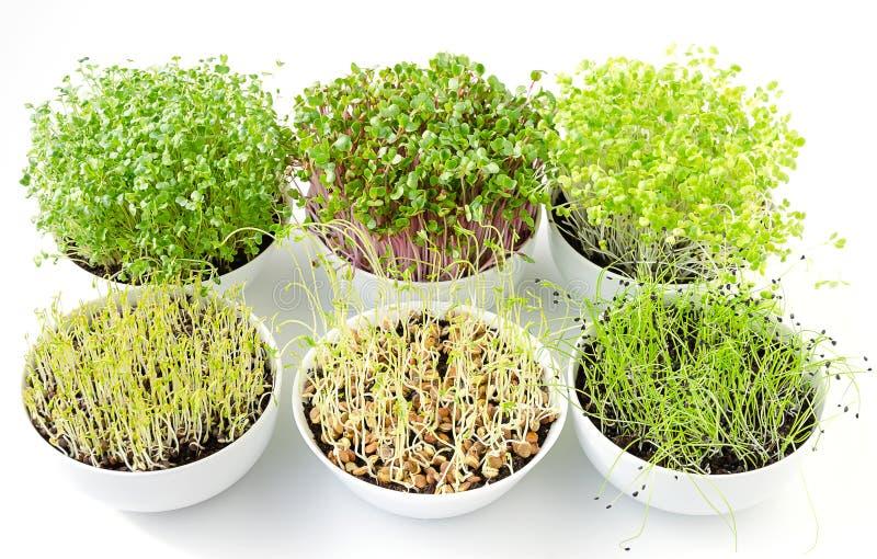 Six microgreens poussant dans des cuvettes blanches, d'en haut image stock