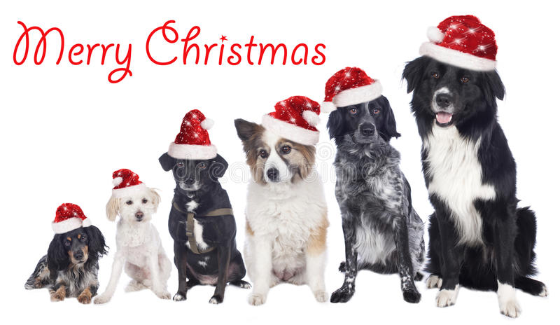 Six mixed breed dogs in a row with santa hats royalty free stock photography