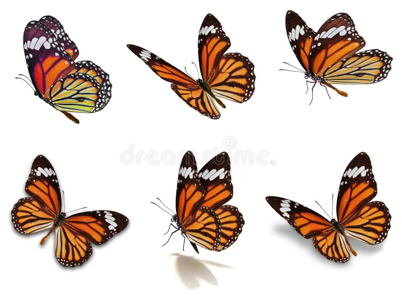 Six monarch butterflies set. Beautiful Six monarch butterflies set, isolated on white background royalty free stock photo