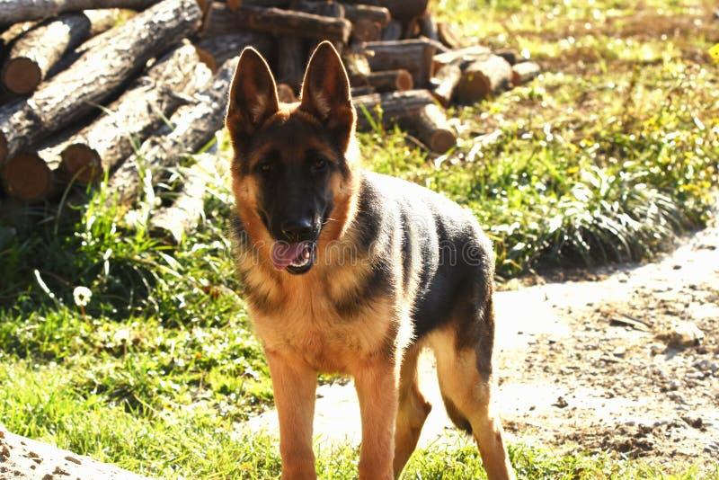 Young German Shepherd Dog royalty free stock photography