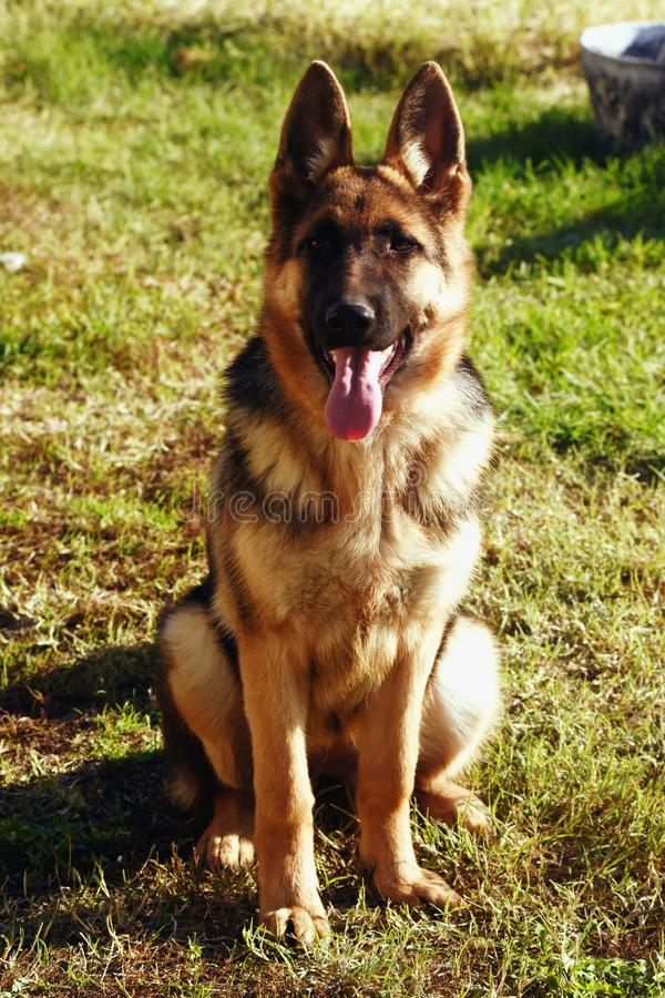 Young German Shepherd Dog royalty free stock images