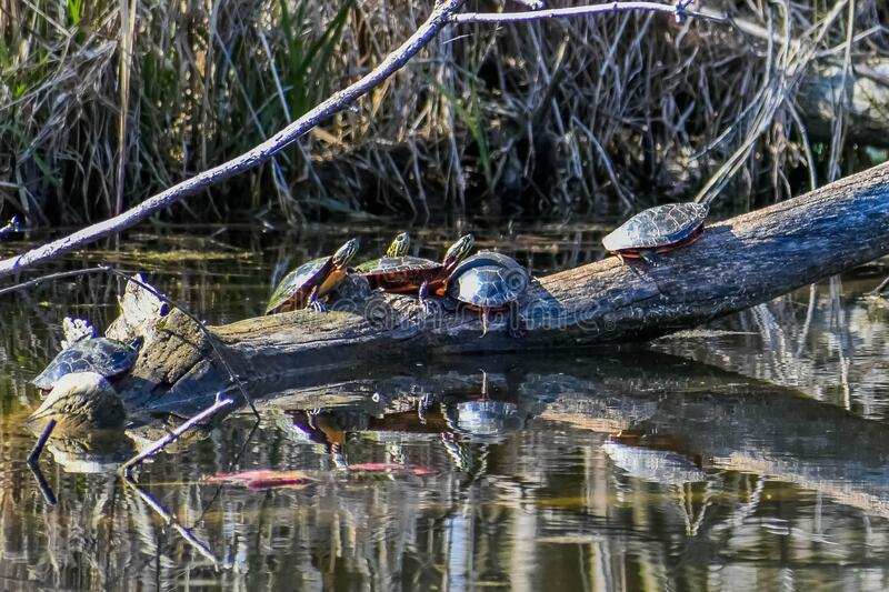 Six Painted Turtles on Logs in Lake stock image