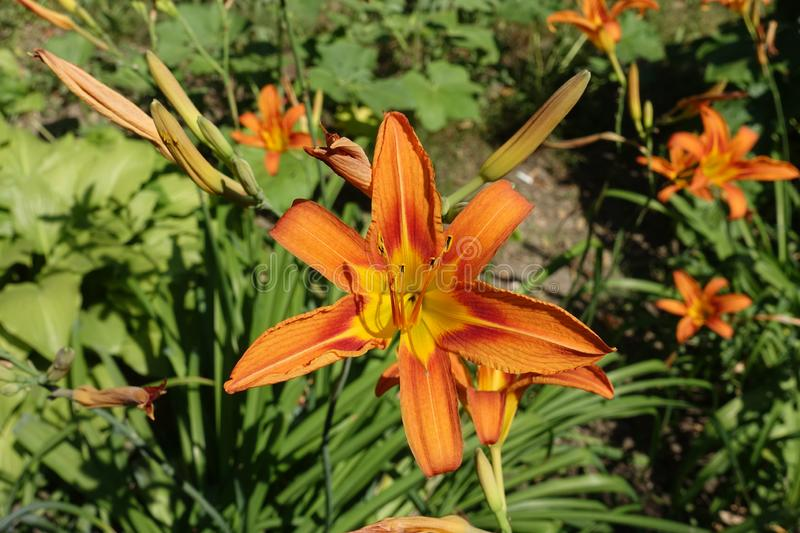 Six-petaled orange flower of Hemerocallis fulva. Six petaled orange flower of Hemerocallis fulva royalty free stock image