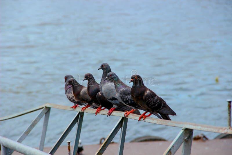 Six pigeons photos stock