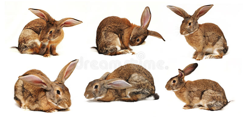 Download Six Rabbits On A White Background Stock Image - Image of rodent, gray: 22366909