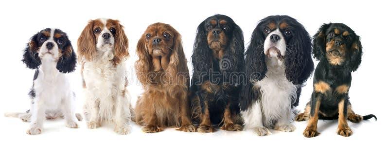 Six rois Charles de cavalier photographie stock