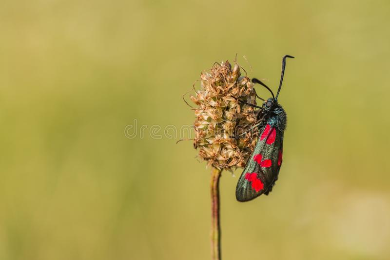 The six-spot burnet on grass royalty free stock images