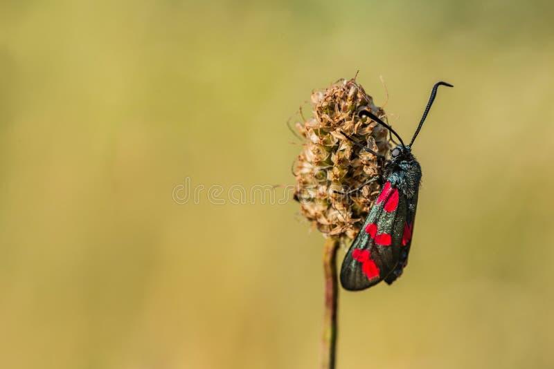 The six-spot burnet on grass royalty free stock photography