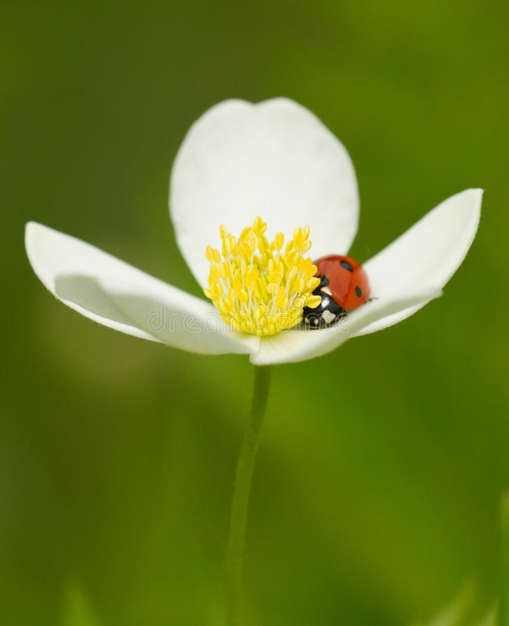 Download Six spotted red ladybug stock photo. Image of micro, summer - 25015880