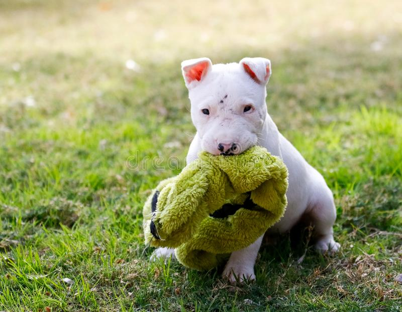 Six week old bull terrier puppy with a toy. Small white bull terrier puppy playing in the grass with a toy royalty free stock photos