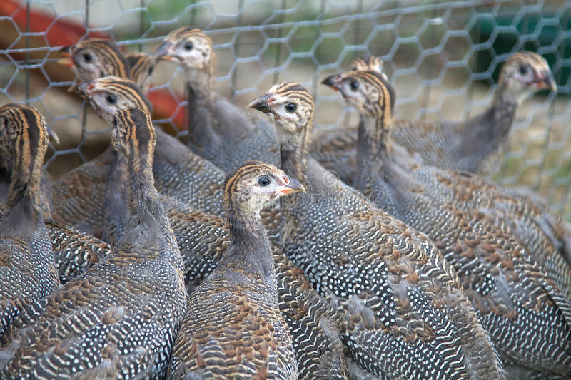 Six Week Old Guinea Fowl Keets Royalty Free Stock Photo