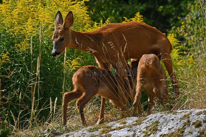 Six weeks young wild Roe deer, Capreolus capreolus. With their mother discovers the world in the green, and here they suck milk on the dug stock photo