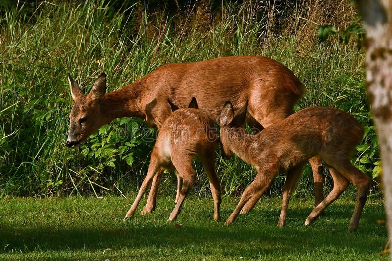 Six weeks young wild Roe deer, Capreolus capreolus. With their mother discovers the world in the green, and here they try to suck milk on the dug royalty free stock images