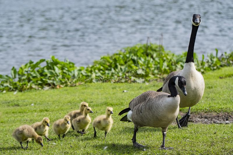 Young goslings out for a walk with mum and dad. royalty free stock photos