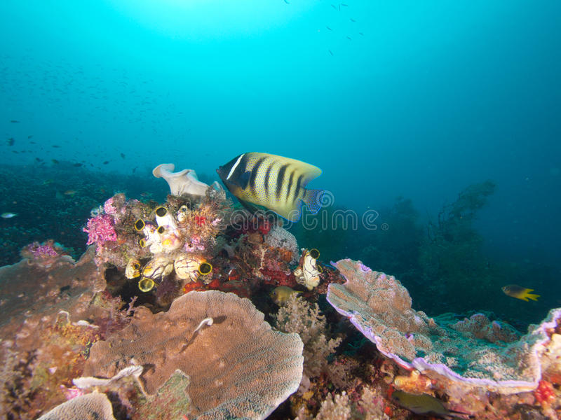 Sixbar神仙鱼盘旋在王侯Ampat,印度尼西亚的礁石 库存照片