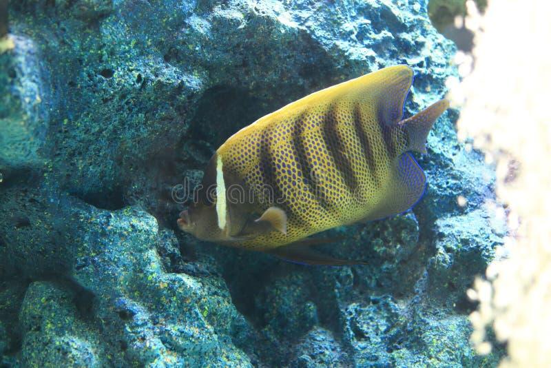Sixbar Angelfish lizenzfreie stockfotos