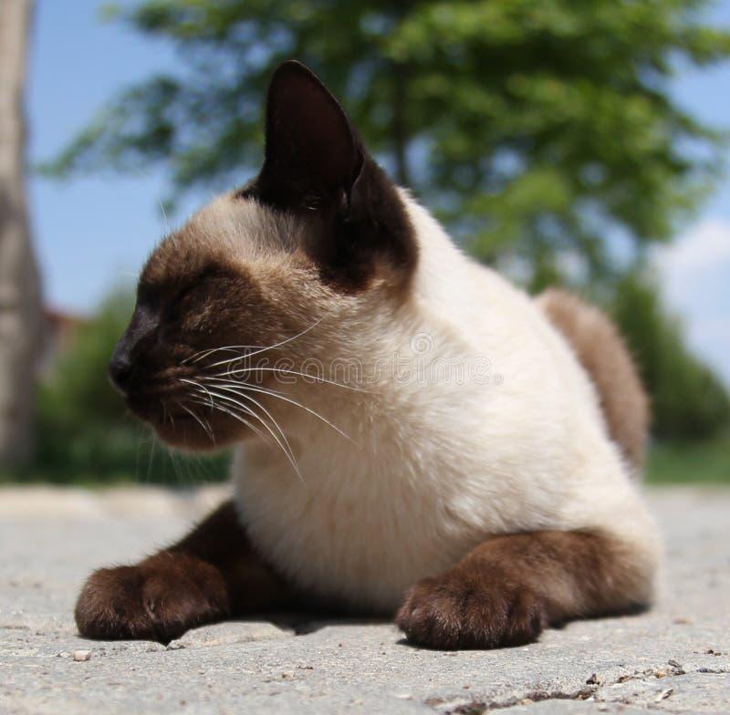Siyam katt (som spelar för närvarande en siamese katt) arkivfoton