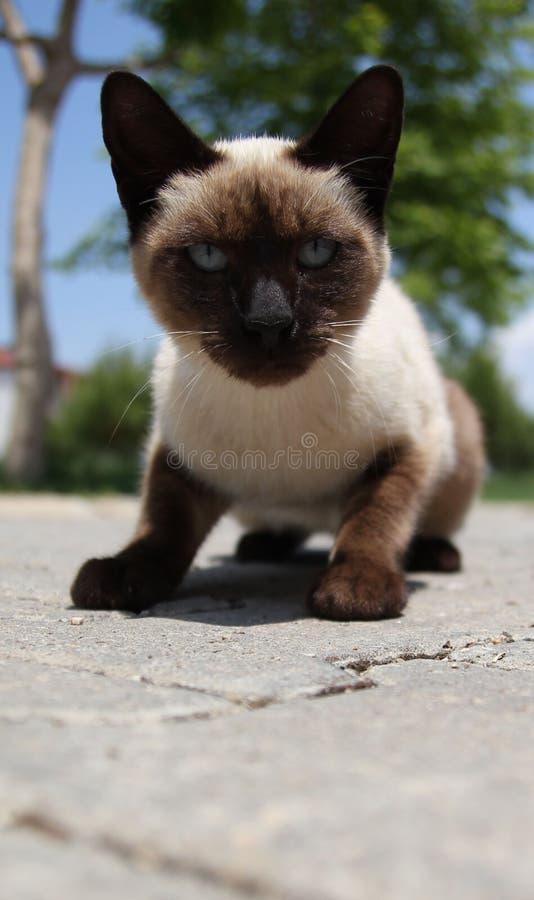 Siyam katt (som spelar för närvarande en siamese katt) arkivfoto