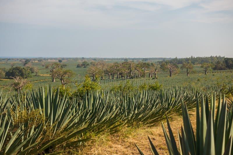 Sizal plantacja w nabrzeżnym Kenja zdjęcie stock