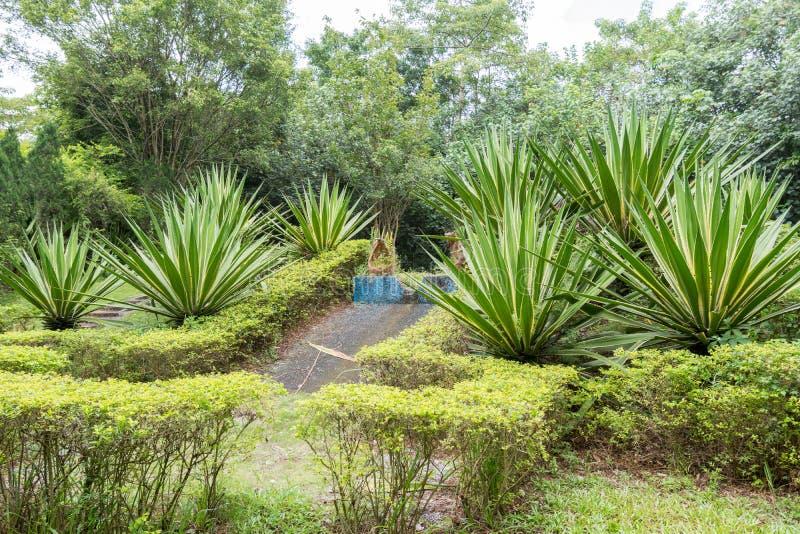 Sizalu konopie dorośnięcie w tropikalnym parku zdjęcie royalty free