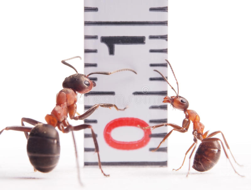 Download Size Matters, Ants And Centimeter Stock Photos - Image: 31803633