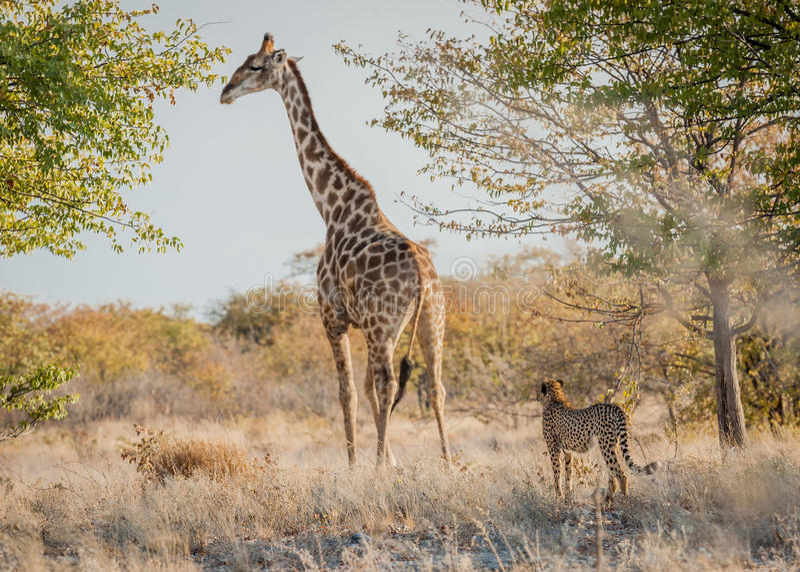 Sizing him up, Etosha National Park, Namibia. Young, playful cheetah sizing-up the giraffe in an attempt to play, Etosha National Park, Namibia stock photography