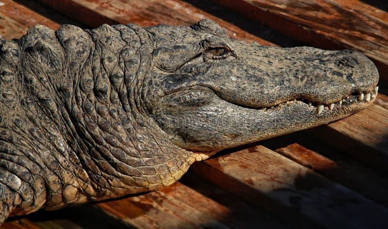 själv sunning för alligator royaltyfri fotografi