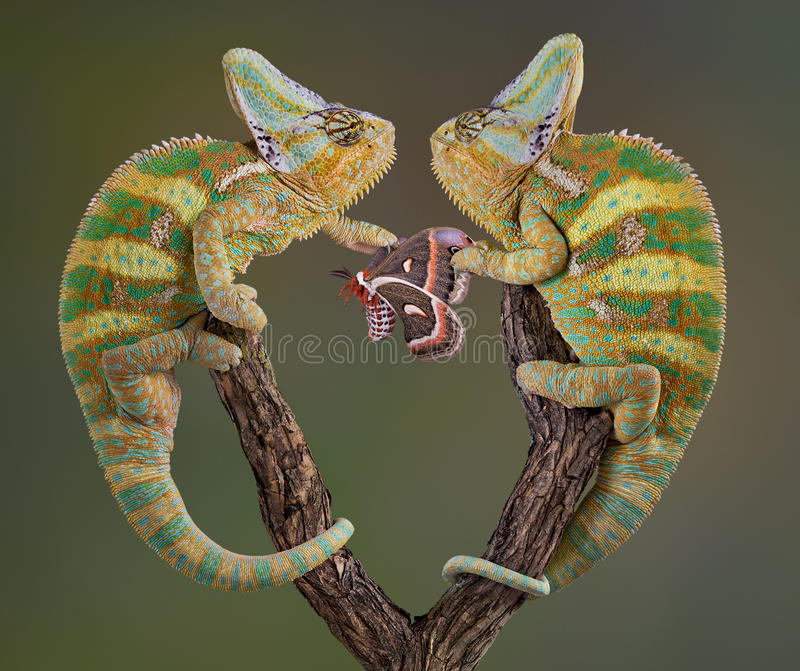 själviska kameleonter royaltyfri bild