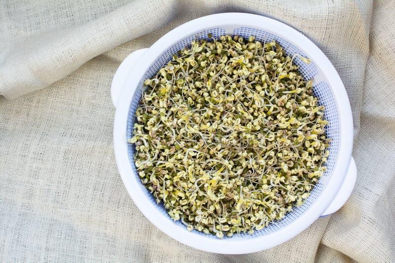 Självodlade organiska beansprouts arkivfoton