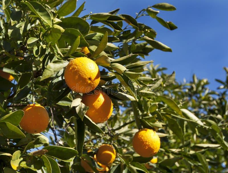 Sjö- orange Tree royaltyfri bild