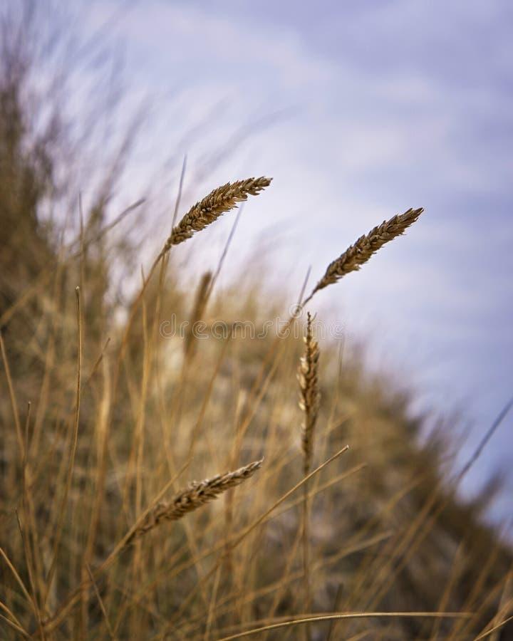 Sjögräs vid Östersjöns sanddyner i Tyskland royaltyfri fotografi