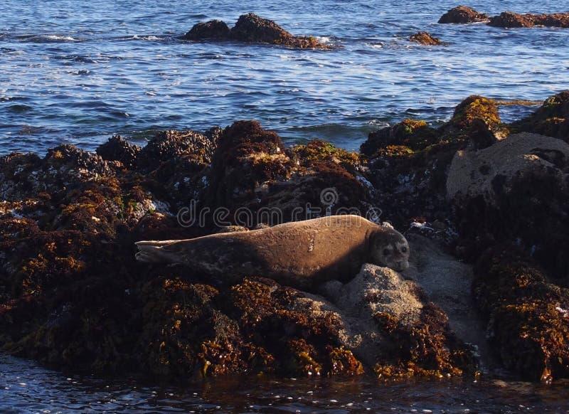 Sjölejon i Monterey arkivfoto