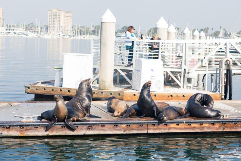 Sjölejon och skyddsremsor som vilar på en pir på fiskaren Village, Marina del Rey, Kalifornien royaltyfria foton