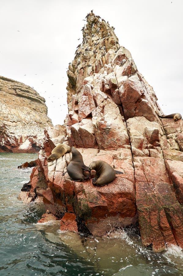 Sjölejon på stenigt bildande Islas Ballestas, paracas arkivbild