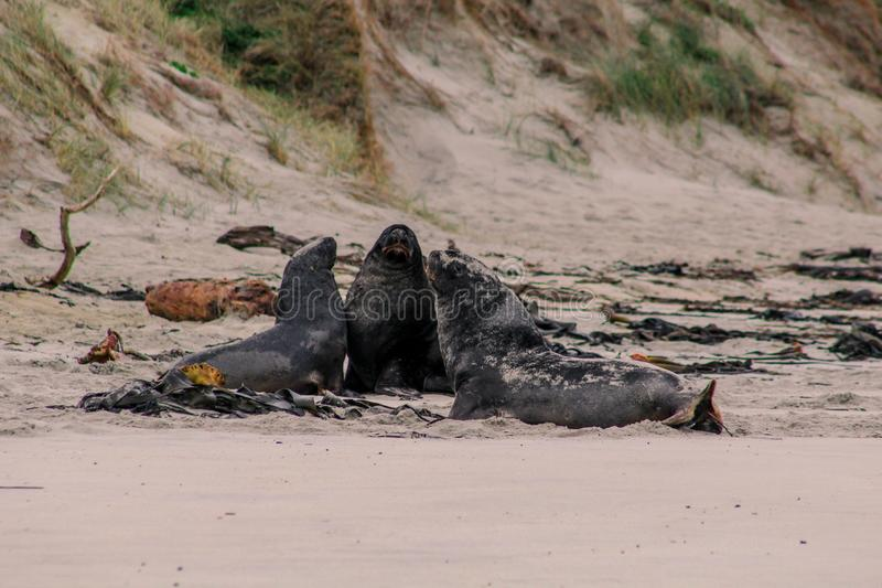 Sjölejon på stranden på den Otago halvön, södra ö, Nya Zeeland arkivfoton