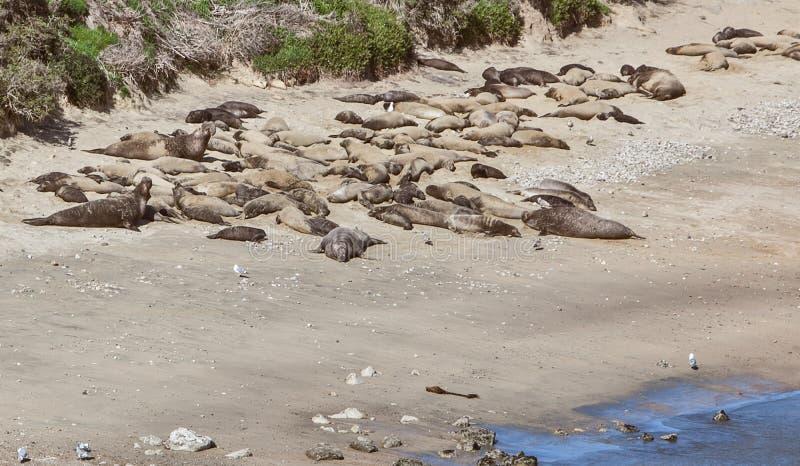 Sjölejon som lägger på strandsolen royaltyfri foto