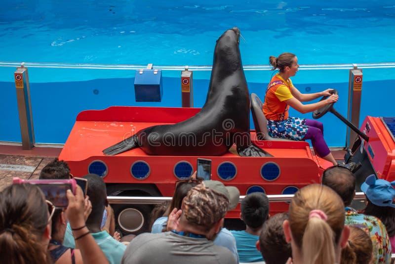 Sjölejon som skriver in showen med kvinnainstruktören i färgrik bil i den havsLion High showen på Seaworld 1 royaltyfria bilder