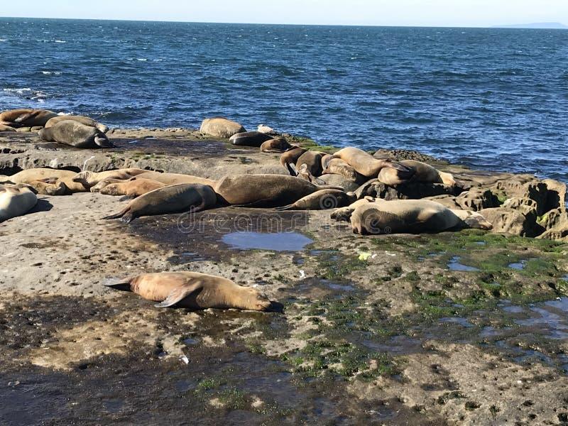 Sjölejon som sover på en stenig kust royaltyfri fotografi