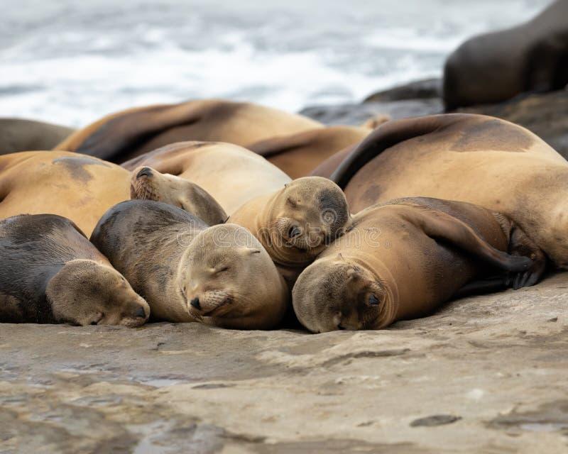 Sjölejon som sover på stranden royaltyfria bilder