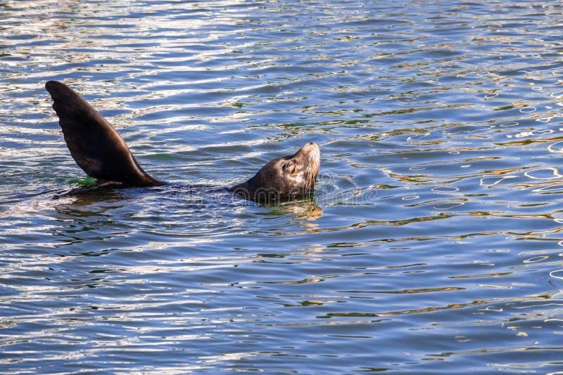 Sjölejon som vilar med dess huvud och en foreflipper ut ur waten arkivbilder