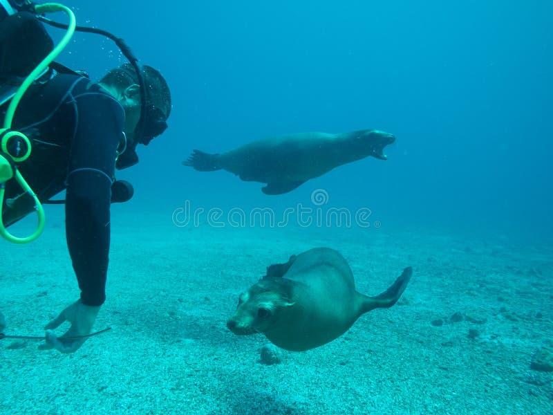 Sjölejondyk, hav av cortez, Baja California arkivbilder