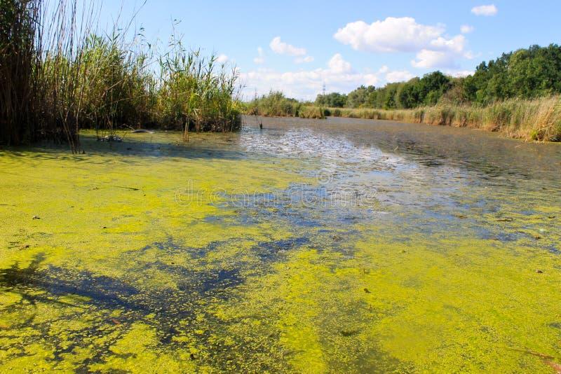 Sjön med gröna alger och andmatet på vatten ytbehandlar royaltyfria foton
