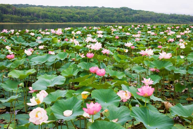 Sjön mycket av blommande rosa orientaliska Lotus royaltyfria bilder