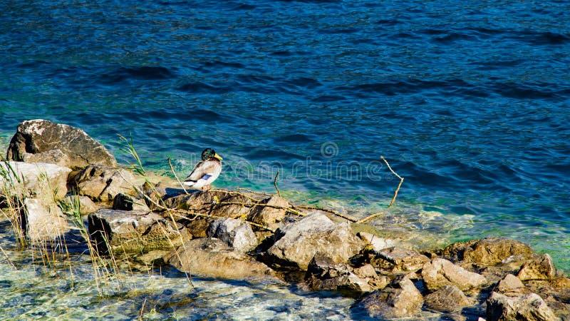 Sjön vaggar och duckar royaltyfria foton