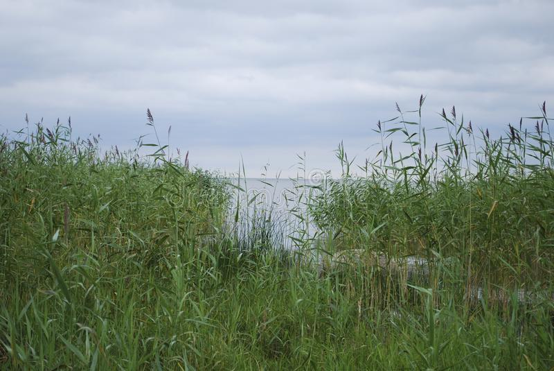 SjöPeipsi Chudskoe sjö, gräs- lakeside royaltyfri bild