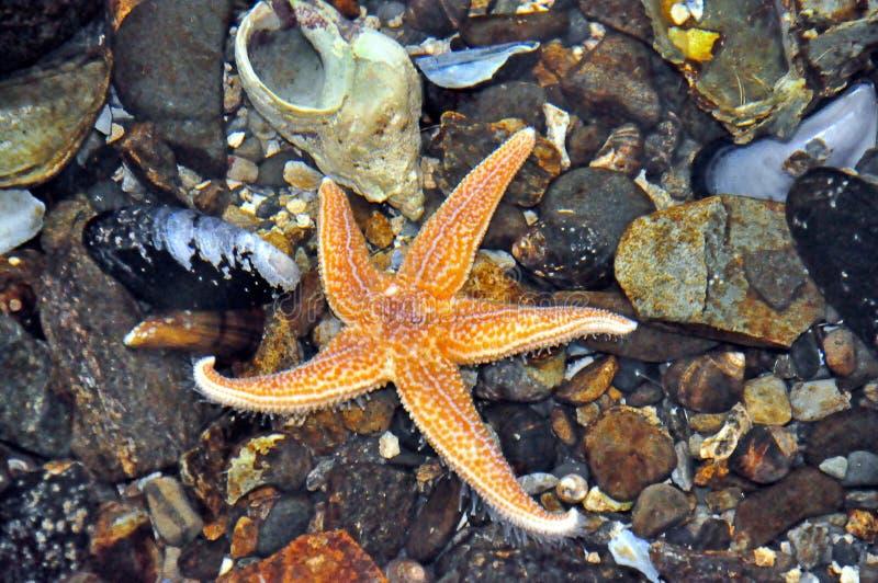 Sjöstjärna i en tidvattenpöl arkivbilder