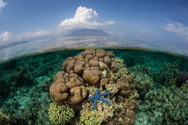 Sjöstjärna och rev i Indonesien arkivbild