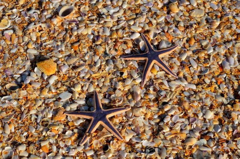 Sjöstjärna två överst av snäckskalstranden arkivfoton
