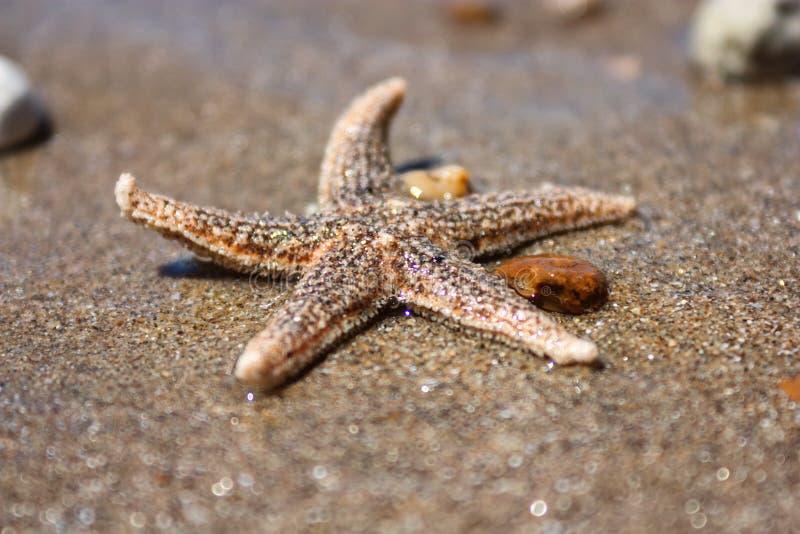 SjöstjärnaartAsterias rubens med singeln, siktsnärbild på en kust- havssand efter tidvattnet Bayet of Biscay royaltyfri fotografi