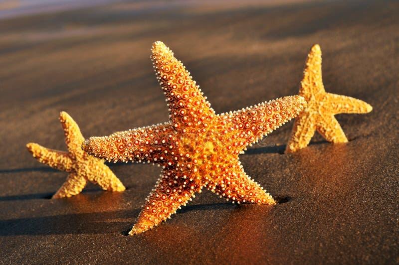 Sjöstjärnor på sanden av en strand arkivbilder
